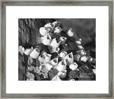 Barnacles 2 Framed Print