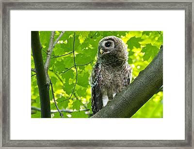 Barred Owl Fledgeling Framed Print by Dan Ferrin
