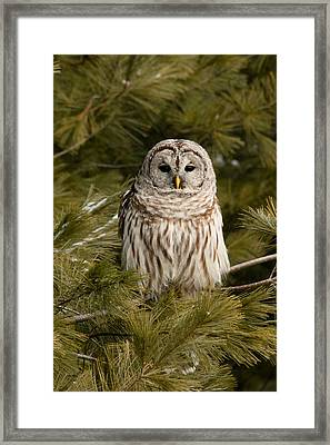 Barred Owl In A Pine Tree. Framed Print by Michel Soucy