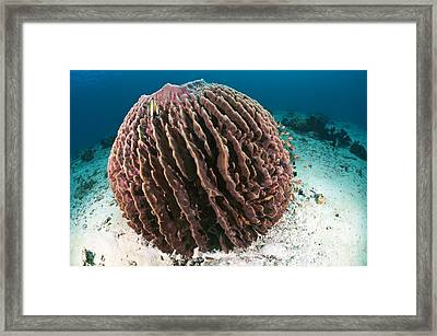 Barrel Sponge Framed Print by Matthew Oldfield