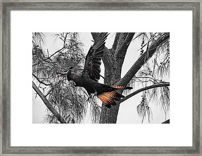 Base Jumper Framed Print by Douglas Barnard