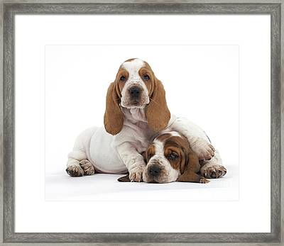 Basset Hound Puppies Framed Print