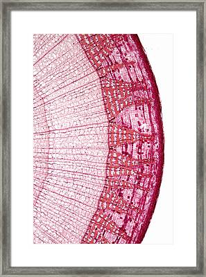 Basswood Stem Tilia Sp., Lm Framed Print by Science Stock Photography