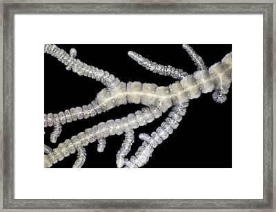 Batrachospermum Alga Framed Print