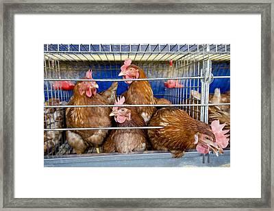 Battery Hens On A Farm Framed Print