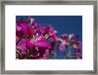 Bauhinia Purpurea - Hawaiian Orchid Tree Framed Print by Sharon Mau