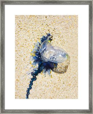 Beached Bluebottle Framed Print