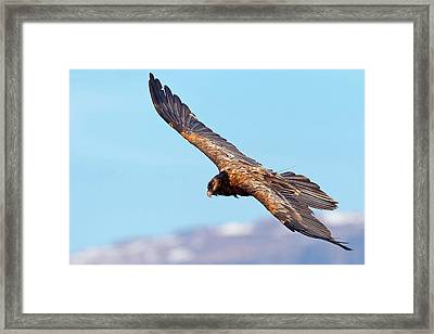Bearded Vulture In Flight Framed Print by Bildagentur-online/mcphoto-schaef