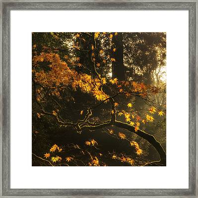 Beautiful Golden Autumn Leaves With Bright Backlighting From Sun Framed Print
