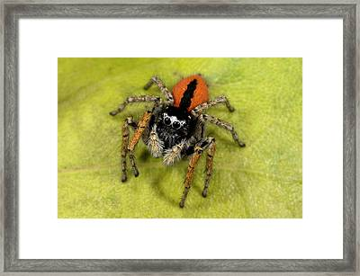 Beautiful Jumper Spider Framed Print by Nigel Downer