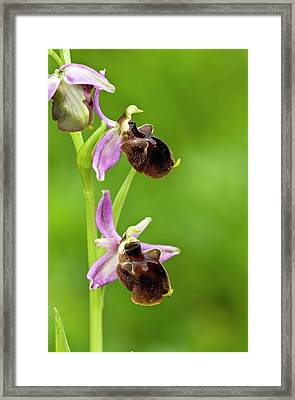 Bee Orchid (ophrys Chestermannii) Framed Print by Bob Gibbons