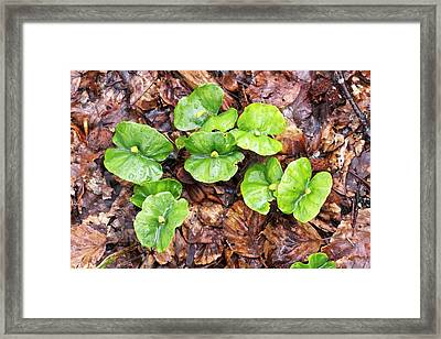 Beech (fagus Sylvatica) Tree Seedlings Framed Print
