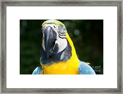 Blue And Yellow Macaw - Ara Ararauna - Kailua Maui Hawaii  Framed Print by Sharon Mau