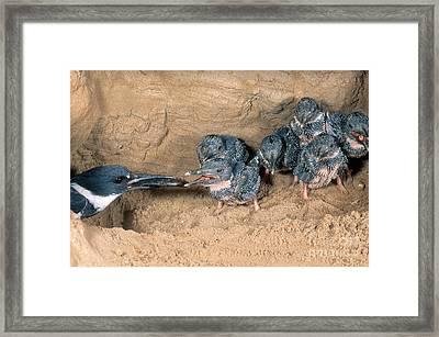 Belted Kingfisher Framed Print by Anthony Mercieca
