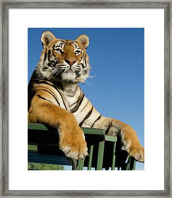Bengal Tiger Searching For Prey Atop Framed Print
