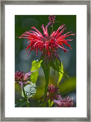 Bergamot Monarda Squaw Framed Print by Dr. Keith Wheeler