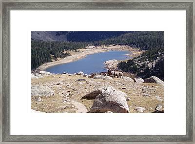 Big Horn Sheep Gang Framed Print