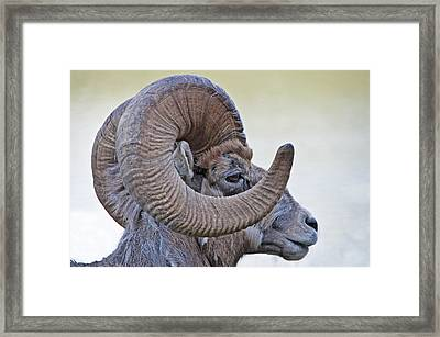 Framed Print featuring the photograph Bighorn Mountain Sheep 1 by Dennis Cox WorldViews