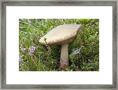 Birch Bolete Leccinum Scabrum Mushroom Framed Print by Duncan Shaw
