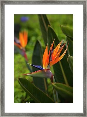 Bird Of Paradise, Kula Botanical Framed Print