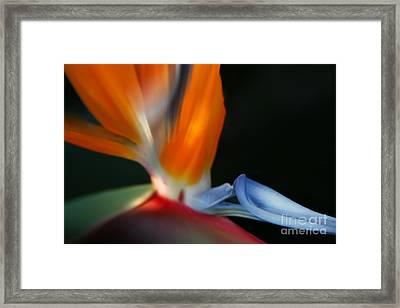 Bird Of Paradise Framed Print by Sharon Mau