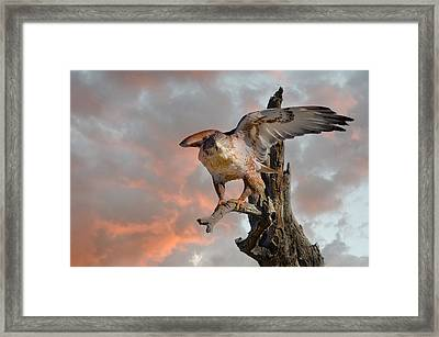Bird Of Prey Framed Print