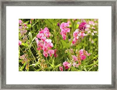 Bitter Vetch (lathyrus Vernus) Flowers Framed Print by Adrian Thomas
