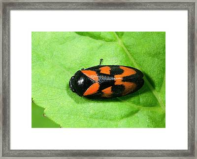 Black And Red Froghopper Framed Print by Nigel Downer