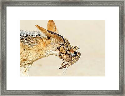 Black-backed Jackal Hunting Sandgrouse Framed Print by Peter Chadwick