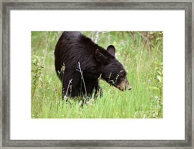 556p Black Bear Framed Print by NightVisions