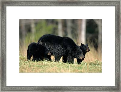 Black Bear (ursus Americanus Framed Print by Richard and Susan Day