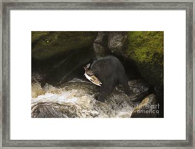 Black Bear With Salmon Framed Print