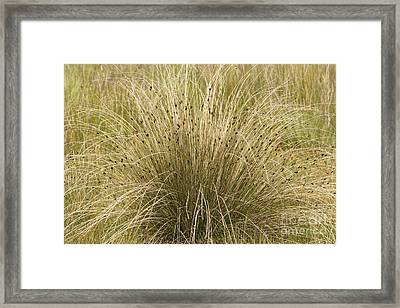 Black Bog-rush Schoenus Nigricans Framed Print by Bob Gibbons