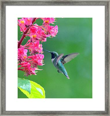 Black Chinned Hummingbird Framed Print by Aron Chervin
