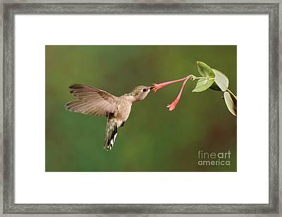 Black-chinned Hummingbird Framed Print by Scott Linstead