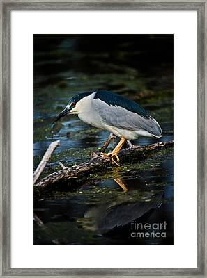 Black Crowned Night Heron Framed Print
