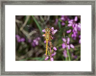 Black Darter Dragonfly Framed Print by Bob Gibbons