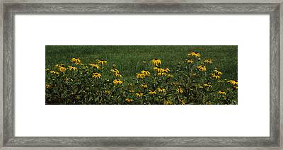 Black-eyed Susan Flowers Rudbeckia Framed Print by Panoramic Images