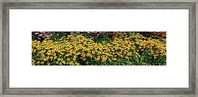 Black-eyed-susan Rudbeckia Hirta Framed Print by Panoramic Images