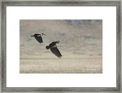 Black-faced Ibis Framed Print