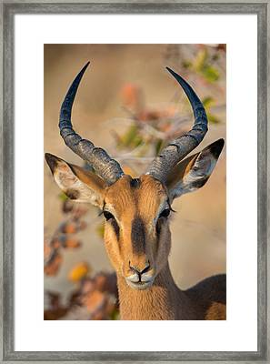 Black-faced Impala Aepyceros Melampus Framed Print by Panoramic Images