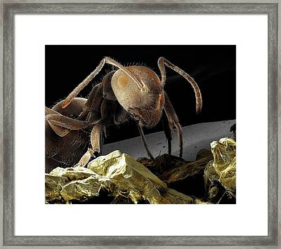 Black Garden Ant With Sugar Framed Print