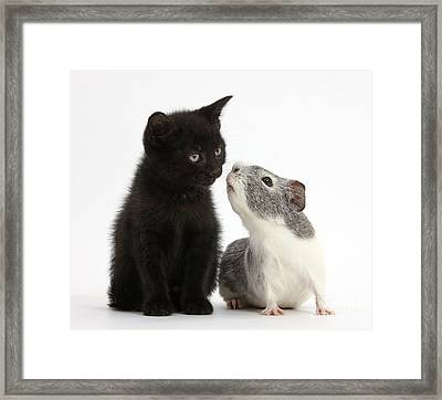 Black Kitten And Guinea Pig Framed Print by Mark Taylor