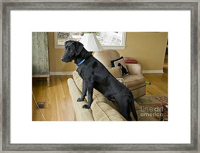 Black Lab On Couch Framed Print by William H. Mullins
