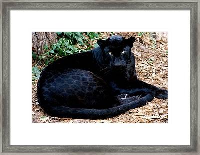 Black Leopard Framed Print by Mark Newman