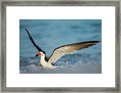 Black Skimmer Bathing Along Shoreline Framed Print by Maresa Pryor