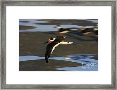 Black Skimmer Beach Framed Print