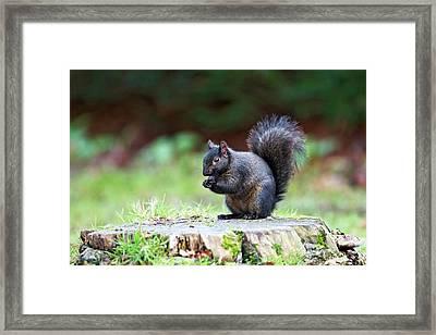 Black Squirrel Eating A Nut Framed Print