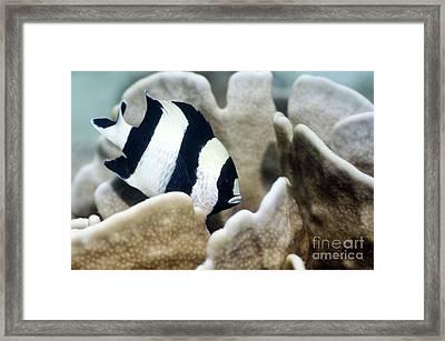 Black-tail Dascyllus Framed Print