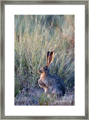 Black-tailed Jackrabbit Framed Print